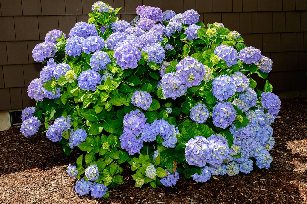 JRC Thompson Hydrangeas.